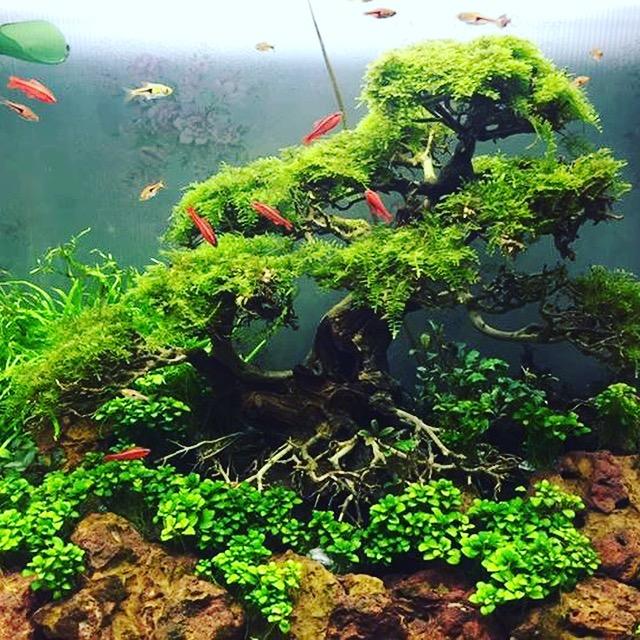 Hồ cá được trang trí với các cây Bonsai driftwood đầy sáng tạo, ấn tượng.